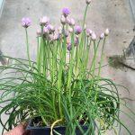 Allium Chivette