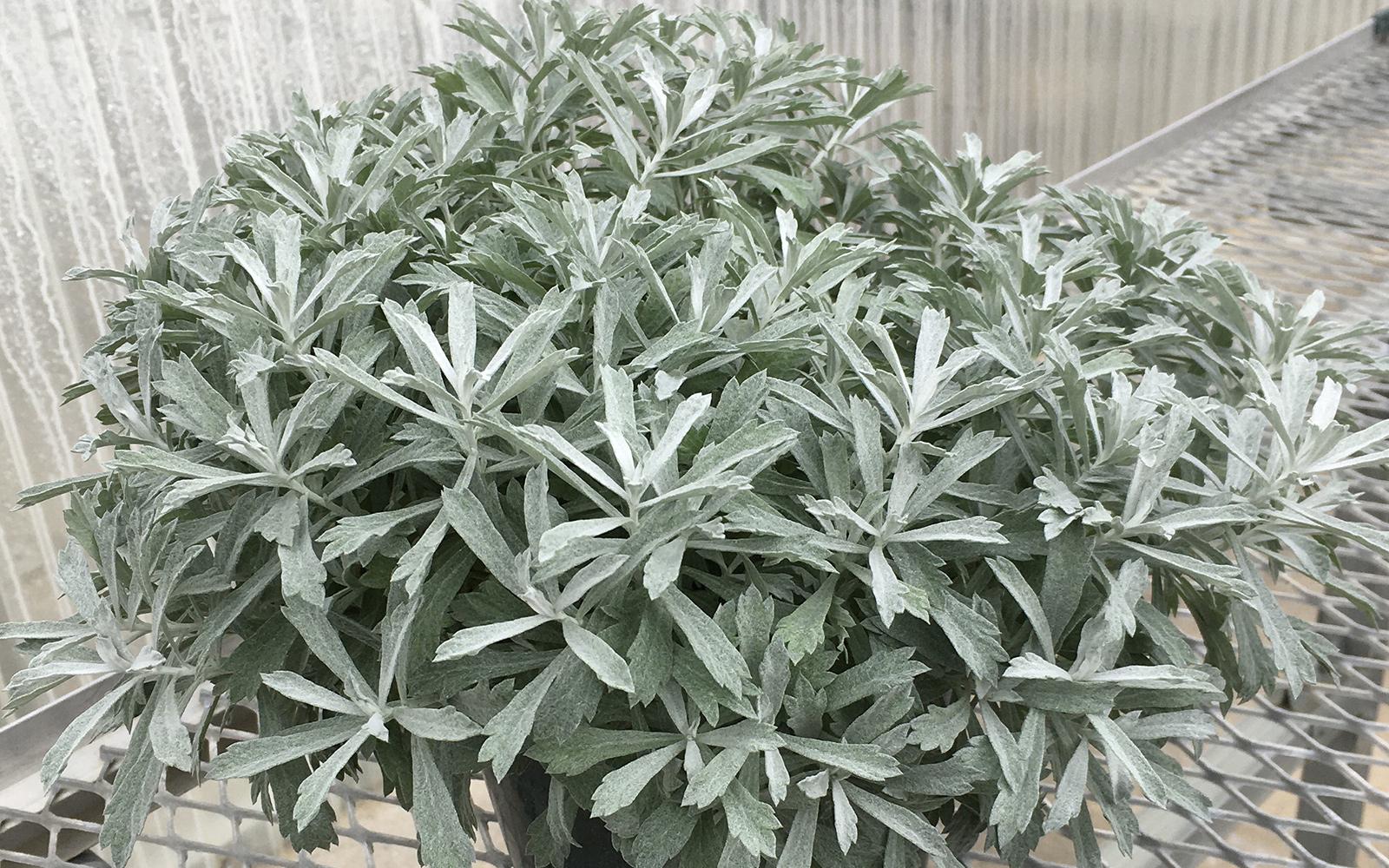 Artemisia GardenGhost