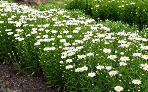 Leucanthnemum Flower Power